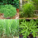 Citronella Plants- Indigenous tropical plant