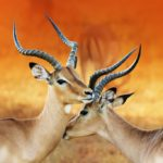 Impala Animals- Medium-sized antelope in Africa