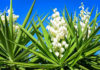 Yucca plant- extremely drought tolerant plant