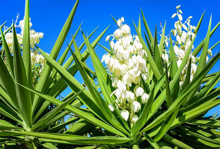 Yucca plant- extremely drought tolerant plant - Environmental Earth