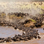 Mara River crossing - Great migration in Africa