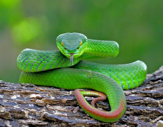 Pit Viper- venomous and infrared-detective Snake