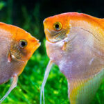 Angelfish- A colorful freshwater aquarium fish