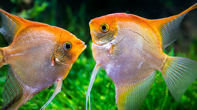 Angelfish couple