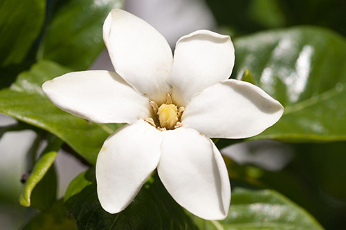 Hawaiian gardenia