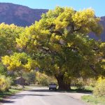 Cottonwood Tree - All You Need to Know about