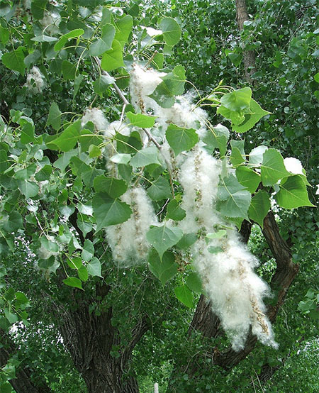 cottonwood fruit and sheath