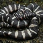 File snakes- Smallest aquatic snake of Acrochordidae family