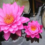Pink and Purple Lotus Flower-  Flowers of spiritual
