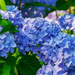 Hortensia -a genus of the colorful flowering plant