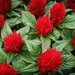 Celosia plant- A genus of ornamental flowering plants