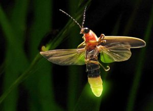 Fireflies -Life cycle and Myths about the light bugs