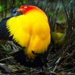 Flame Bowerbird- one of brilliantly colored bowerbird