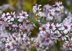 White Wood Aster -Small starry white flowering plant