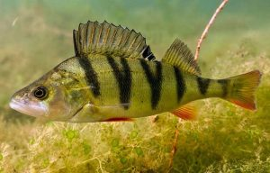 Yellow Perch fish- A Popular freshwater game fish