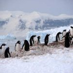 The coastal journey of the Emperor penguin from the sea