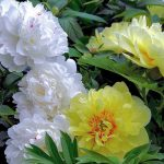 White Peony -Famous Flowering and ancient medicinal plant