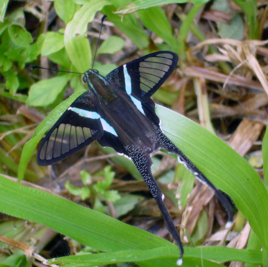 Green Dragontail Butterfly