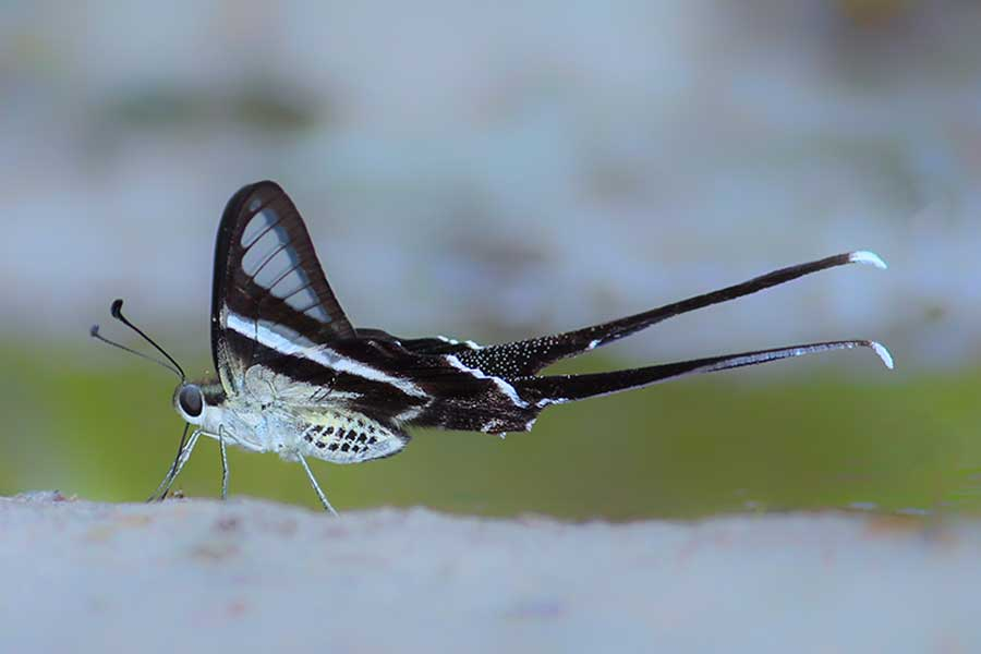 Close wing position of Dragontail