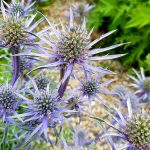 Blue thistle flowering plant- A herbaceous perennial weed