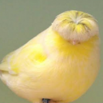 Gloster Canary Bird & How To Take Care Of Them